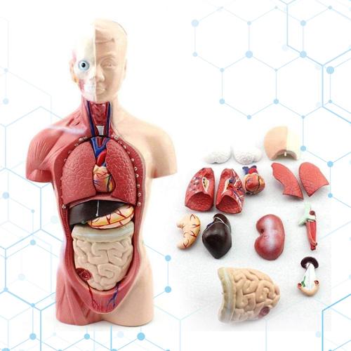 Torso Humano Cuerpo Anatómico Médico Órganos Internos 28 Cm